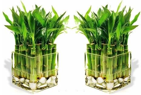 bambuk fd
