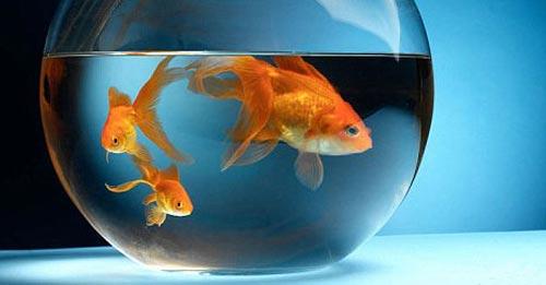 rybki dlya privlecheniya bogatstva 1