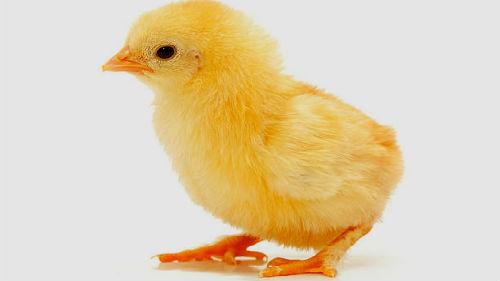 Картинки по запросу цыпленок