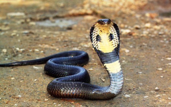 Картинка Смертоносная змея кобра » Змеи » Животные » Картинки 24 - скачать картинки бесплатно